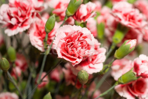 Beautiful carnation flowers or pinks Stock photo © Arsgera
