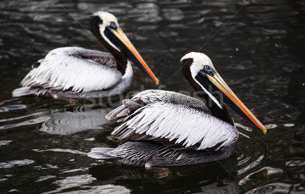 Peruvian Pelicans in the water Stock photo © Arsgera