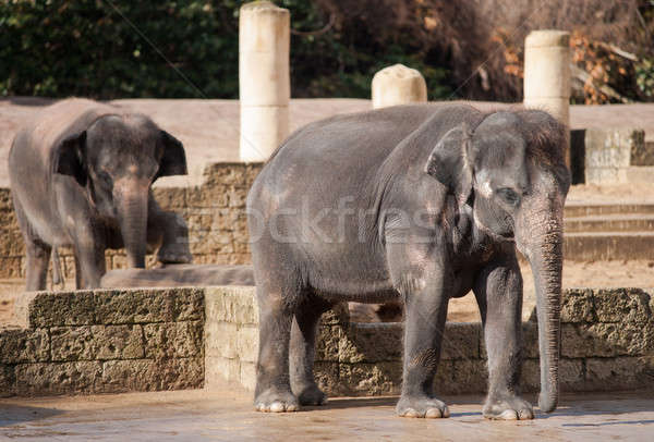 Asiatic elephants: Animal life in Asia Stock photo © Arsgera