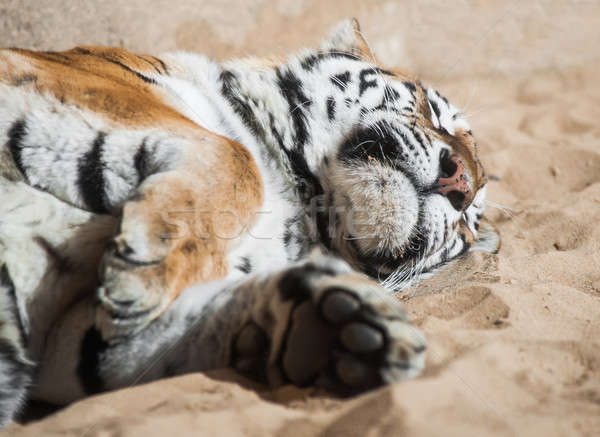 Playful tiger laying on the sand Stock photo © Arsgera