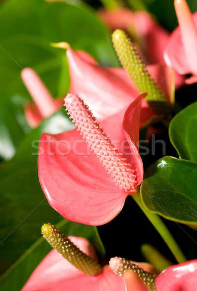 Közelkép gyönyörű virágok kert virág természet Stock fotó © Arsgera