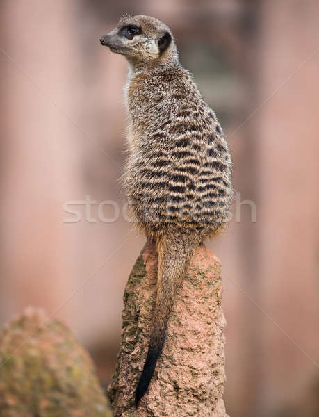 Meerkat turning his head and sitting on the termitary Stock photo © Arsgera