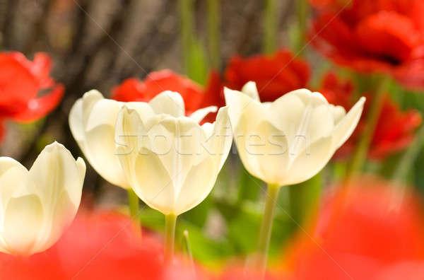 Сток-фото: три · белый · тюльпаны · весенние · цветы · цветок