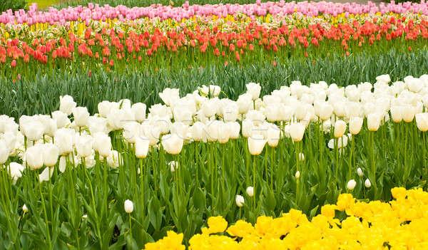 Tulipes parterre de fleurs parc holland fleur Photo stock © Arsgera