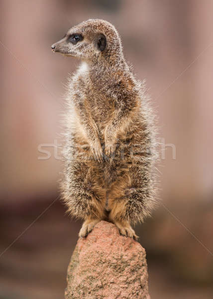 Alertness: watchful meercat on the mound Stock photo © Arsgera