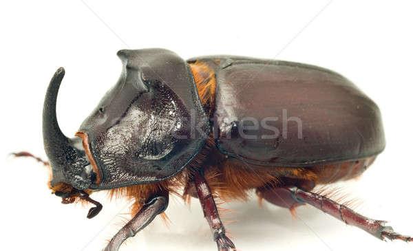 Side Macro view of rhinoceros or unicorn beetle  Stock photo © Arsgera