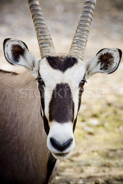 oryx  face Stock photo © art9858