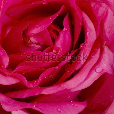 Close-up view of beatiful dark red rose Stock photo © art9858