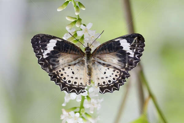 Butterfly feeding on a flowers, swarm flowers Stock photo © art9858