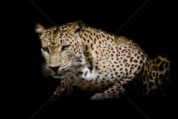 Leopard portrait isolate on black background Stock photo © art9858