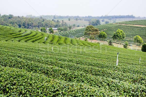 Chá verde plantação paisagem negócio árvore jardim Foto stock © art9858