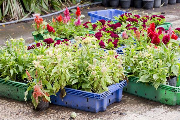 Flowers for sale at Bangkok, Thailand Stock photo © art9858