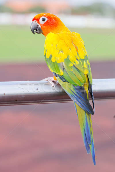 Blue-and-Yellow Macaw (Ara ararauna), also known as the Blue-and Stock photo © art9858