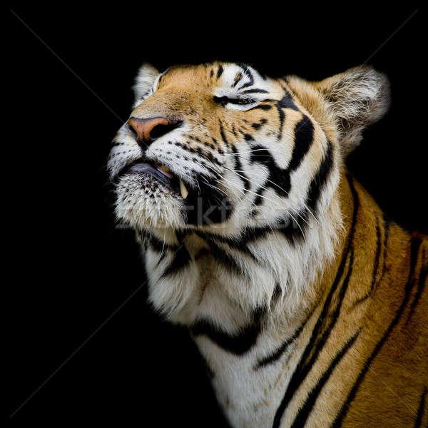 Tygrys szczęśliwy oka charakter kot portret Zdjęcia stock © art9858