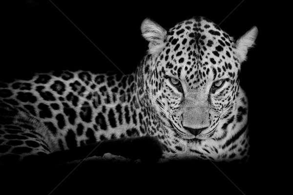 Fekete fehér leopárd portré izolált szem Stock fotó © art9858