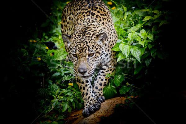 Jaguar yürüyüş forrest göz kaplan portre Stok fotoğraf © art9858