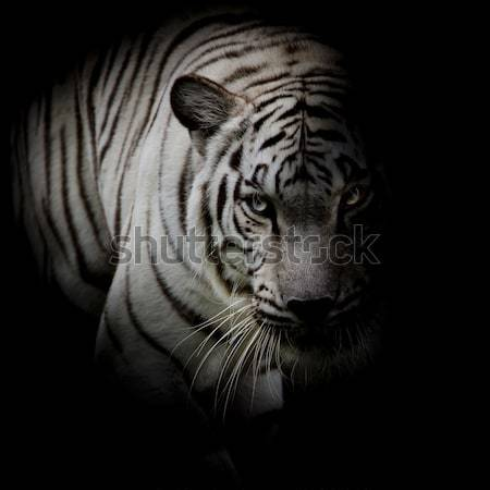 Black & White Twin beautiful tigers face to face isolated on bla Stock photo © art9858