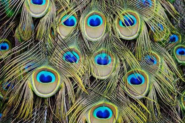 Paon vert bleu plumage Photo stock © art9858