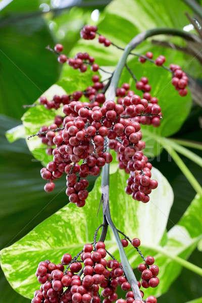 Taze kırmızı meyve ağaç kış Stok fotoğraf © art9858