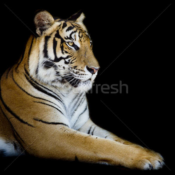 Beautiful tiger - isolated on black background Stock photo © art9858