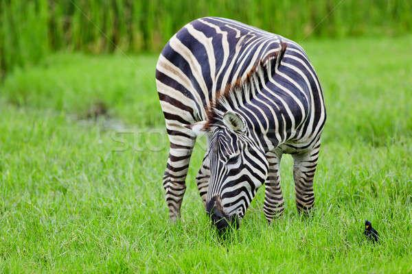 Zebra reizen zwarte park witte spel Stockfoto © art9858