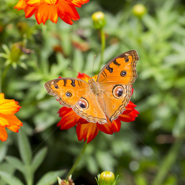 Butterfly on a orange flower Stock photo © art9858