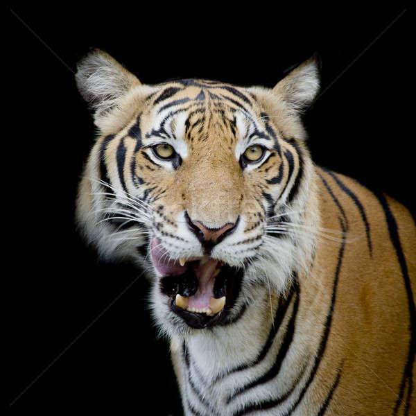 Zwart wit tijger naar buit klaar Stockfoto © art9858