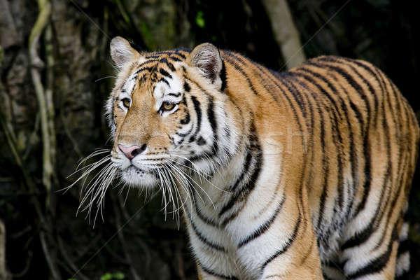 Tigris természet macska szépség zöld folyó Stock fotó © art9858