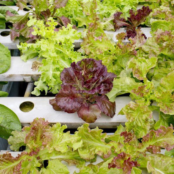 Organisch plantaardige tuin Thailand water voedsel Stockfoto © art9858