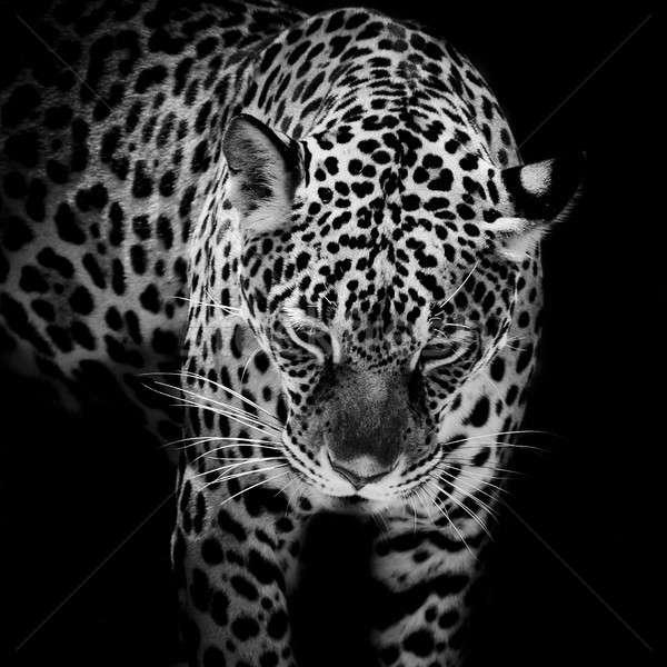 Jaguar portre ağaç kedi ağız Stok fotoğraf © art9858