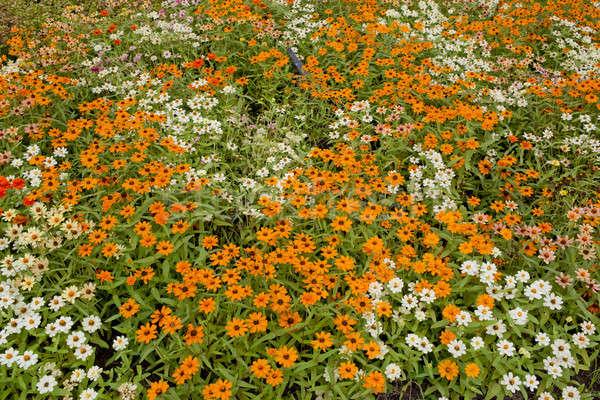 daisy flowers Stock photo © art9858