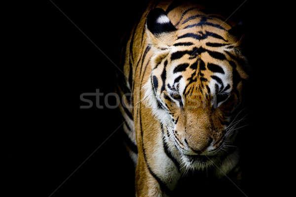 Tygrys kot zimą biały asia pantera Zdjęcia stock © art9858