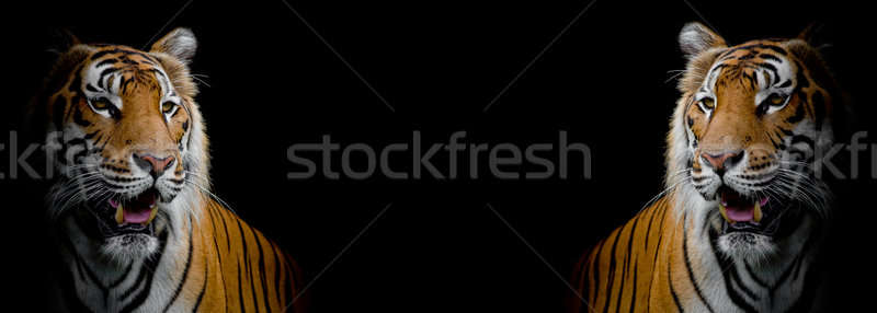 close up face tiger isolated on black background Stock photo © art9858