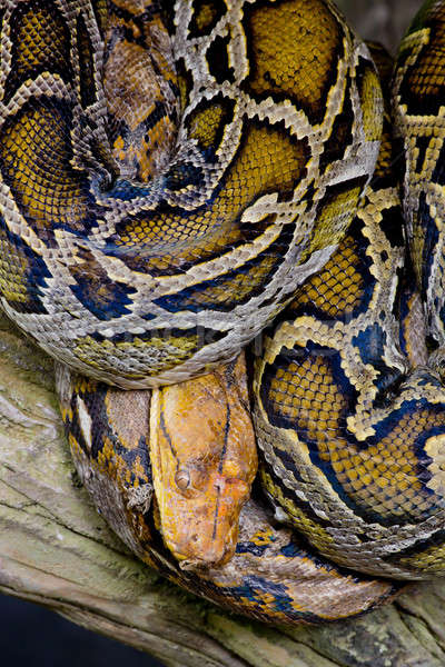 Close-up photo of burmese python (Python molurus bivittatus) Stock photo © art9858