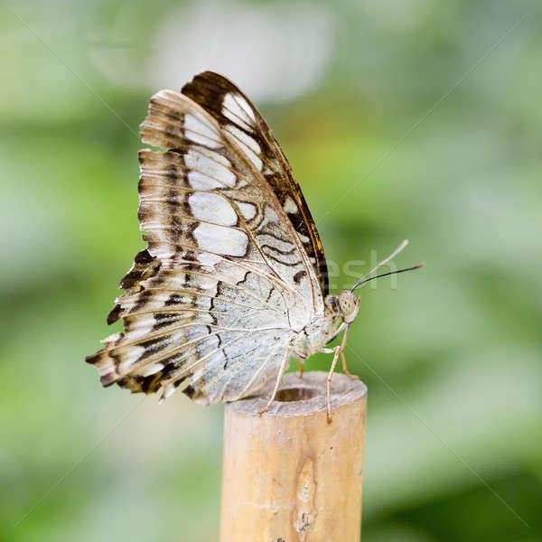 Pillangó szépség nyár fehér stúdió rózsaszín Stock fotó © art9858
