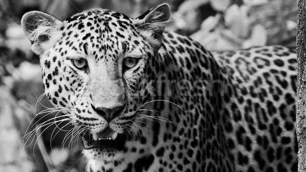 Leopar portre yüz kedi kaplan park Stok fotoğraf © art9858