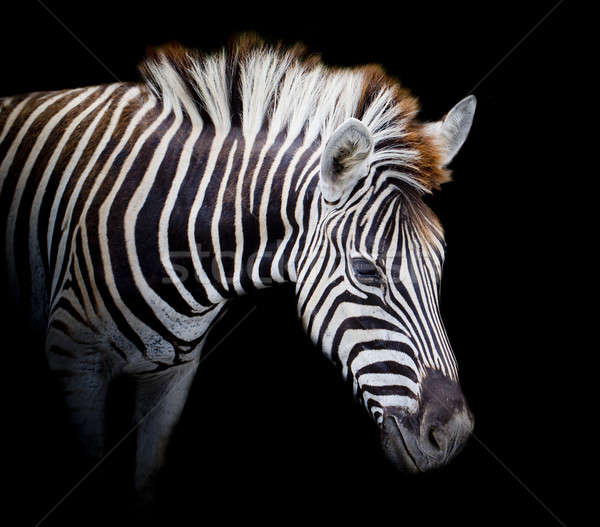 A Headshot of a Burchell's Zebra Stock photo © art9858