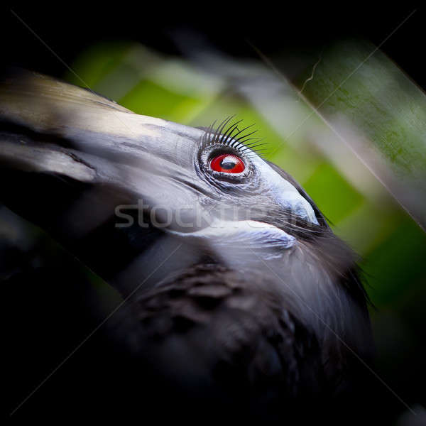 Bushy-Crested Hornbill, closeup in the zoo Stock photo © art9858