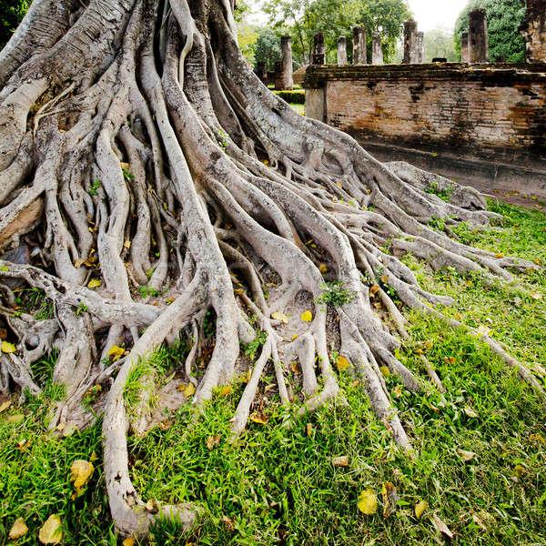 Grande árbol raíz madera naturaleza luz Foto stock © art9858