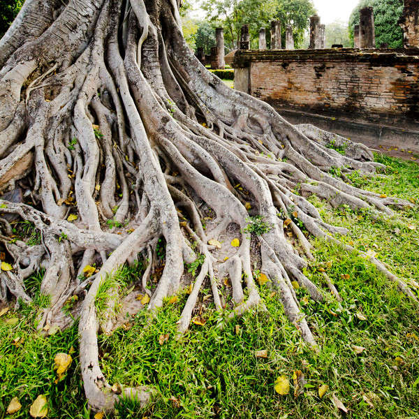 Groot boom wortel hout natuur licht Stockfoto © art9858