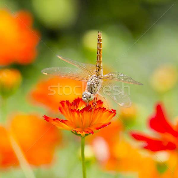 Libel oranje bloem bloemen achtergrond groene Stockfoto © art9858