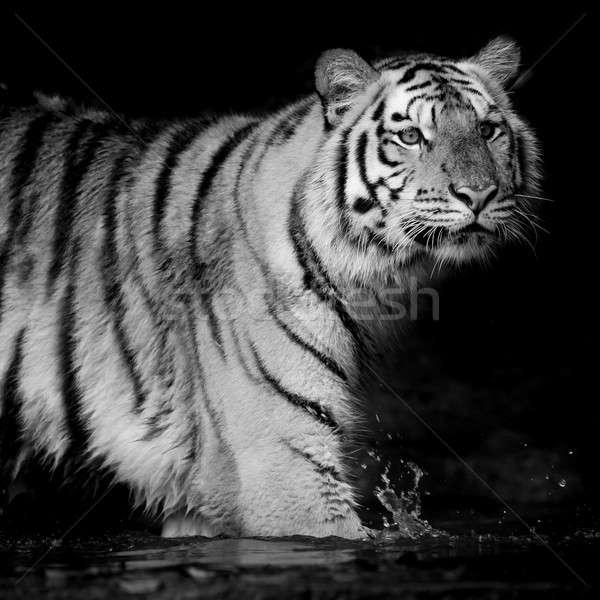 Czarny biały Tygrys zimą portret ucha Zdjęcia stock © art9858