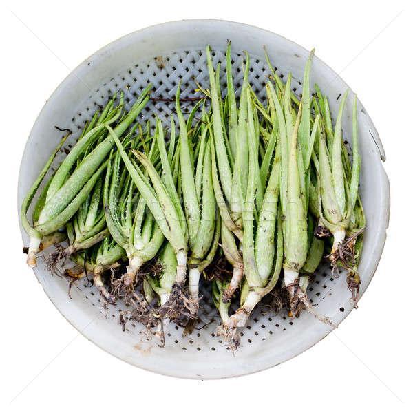 Aloe vera plant Stock photo © art9858