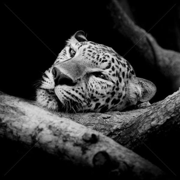 Közelkép álmos leopárd portré fa macska Stock fotó © art9858