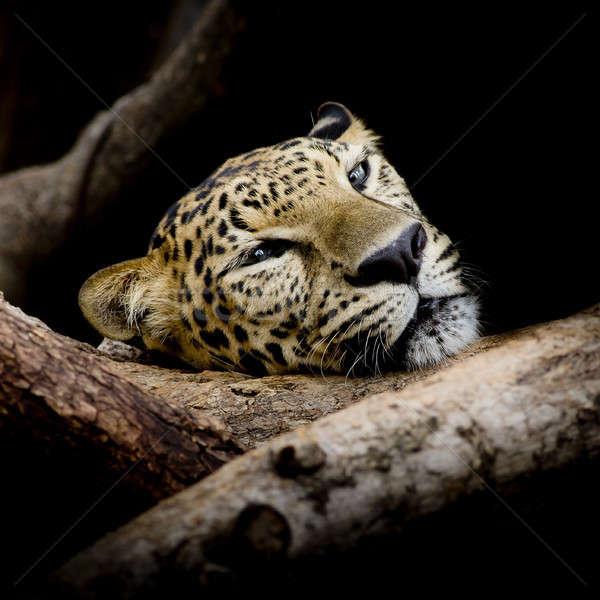 Uykulu leopar portre ağaç kedi Stok fotoğraf © art9858