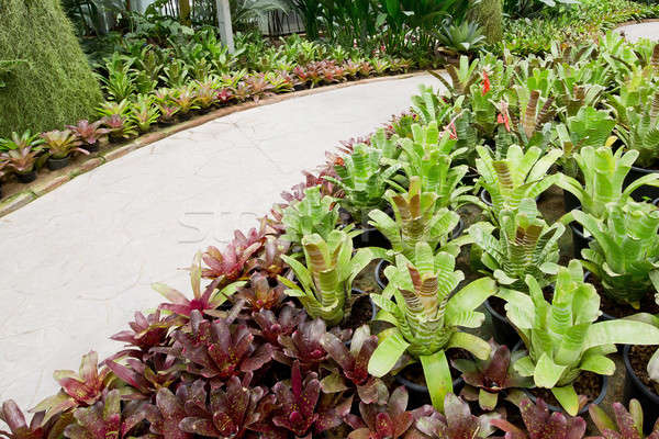 Garden pathway and bromeliad. Stock photo © art9858