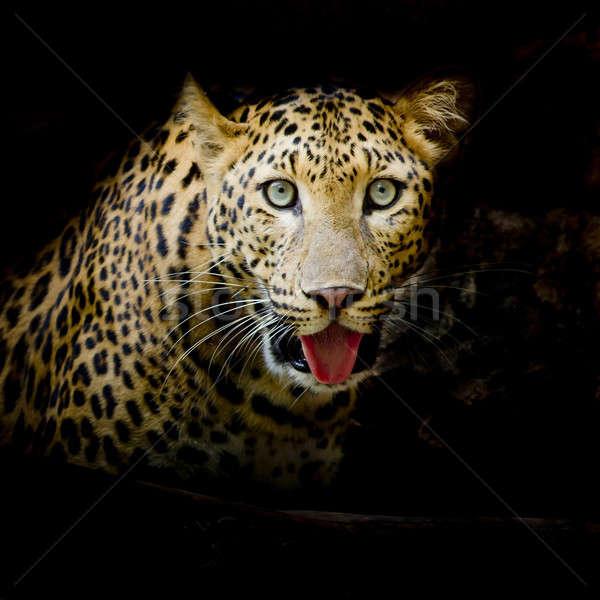 Leopard portret twarz kot Tygrys parku Zdjęcia stock © art9858