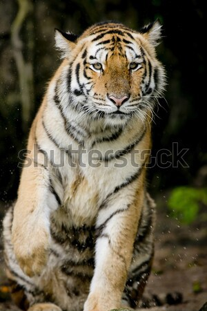 Tiger Stock photo © art9858
