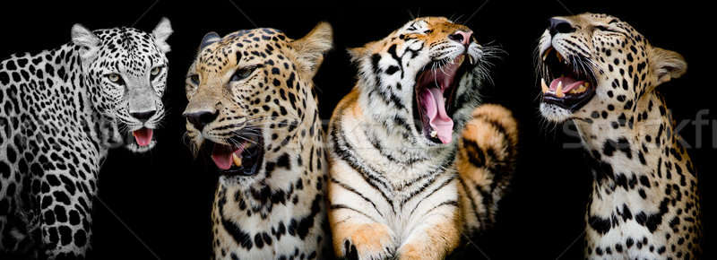 Collection of portraits of Tigers and Leopard.(And you could fin Stock photo © art9858