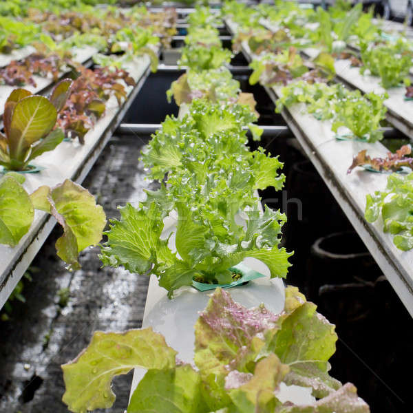 Organic hydroponic vegetable cultivation farm - close up. Stock photo © art9858